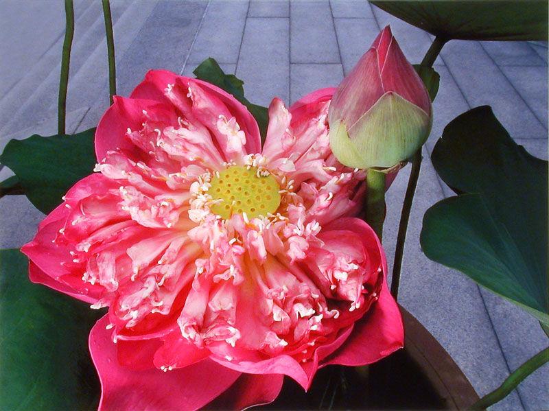 Lotus belle